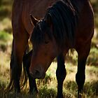 Wild Stallion - Antelope Valley, Nevada by Sue Ratcliffe