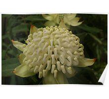 White waratah blooms Poster