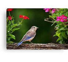 Bluebird Chick Canvas Print
