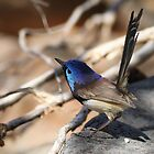varigated fairywren by birdpics