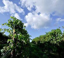 Bull Paddock WInes, Rutherglen - Vineyard Sky by Georgina James