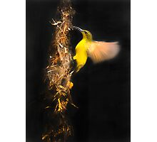 Sun bird preparing her nest , Mission Beach Photographic Print
