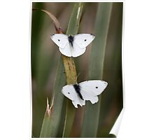 Two White Butterflies Poster