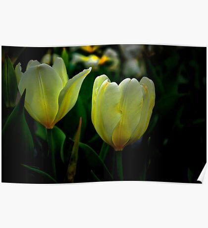It Tkes Two To Tango ~ White Tulips ~ Poster