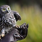 Falcon Owl by Graham Jones