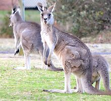 Kangaroos have pink tongues too by anneisabella