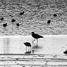 Birds Feeding On Dollymount Strand In Dublin. by Dave  Kennedy