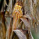 Virginia Field Corn by Farley