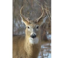 Winter White-tailed Deer Photographic Print