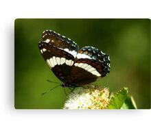 Red-spotted Purple and White Admiral Canvas Print