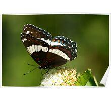 Red-spotted Purple and White Admiral Poster
