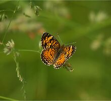 Pearl Crescent by Bill  Cresswell