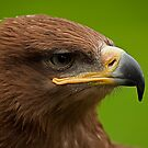 Steppe Eagle by JMChown