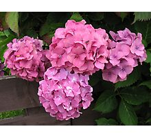 Pink Hydrangea Blossoms Photographic Print