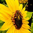 Sunflower w/ Wasp by Peter Simpson
