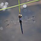 Blue Dragonfly at the River Inlet by Jennifer P. Zduniak