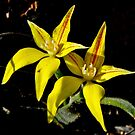 Cowslip Orchid by Rick Playle