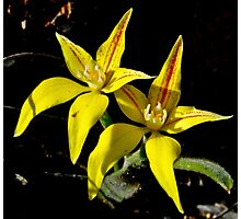 Cowslip Orchid Photographic Print