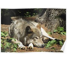 Timber Wolf Chilling Out Poster