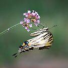 Butterfly hangs on by Jennifer P. Zduniak