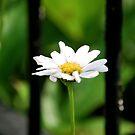 Stand alone daisy by Jennifer P. Zduniak