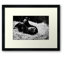 Playful Chimpanzee Framed Print