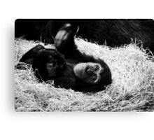 Playful Chimpanzee Canvas Print