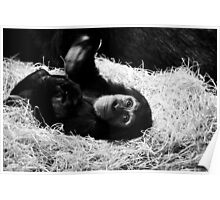 Playful Chimpanzee Poster