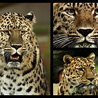 Amur Leopard Collage by Mark Hughes