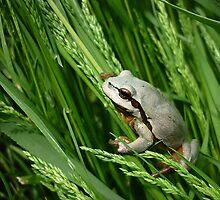 European Tree Frog ( Hyla arborea) by Istvan Natart
