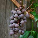 Grapes grow on vines by Jennifer P. Zduniak