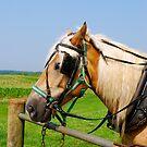 Amish Horse in PA by Jennifer P. Zduniak