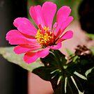 Pink Flower in September by Jennifer P. Zduniak