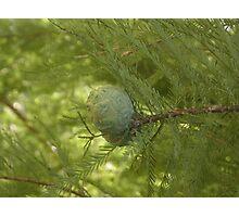 UNA PIGNA , una sequoia, un parco... Parma ITALIa-europa-. 2000 VISUALIZZAZ.MAGGIO 2013 .. VETRINA RB 25 SETTEMBRE 2012 --- Photographic Print