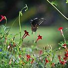 Butterfly coming in for a landing by Jennifer P. Zduniak