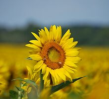 Sunflower and Beez by Jennifer P. Zduniak