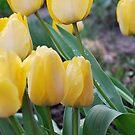 Yellow Tulips in Spring Rain by Jennifer P. Zduniak