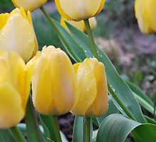 Yellow Tulips in Spring Rain by Jennifer P. Zduniak