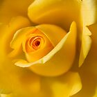 Macro Yellow Rose by Pixie Copley LRPS