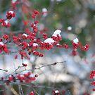 Red Berries in Winter by Jennifer P. Zduniak