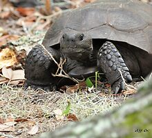 Gopher Tortoise 2 ( Gopherus Polyphemus ) by Jeff Ore