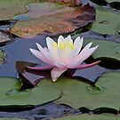 A Lily in the Pond by vigor