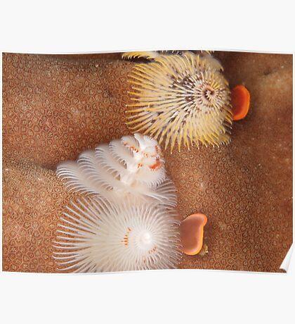 xmas tree worms ningaloo reef Poster