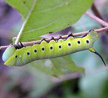 Larval Favorite by Carla Wick/Jandelle Petters