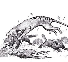 Thylacine attacking devils by SnakeArtist