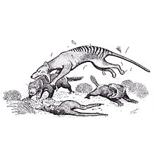 Thylacine attacking devils Photographic Print