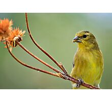 The Finch  Photographic Print