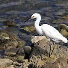 Snowy Egret by Teresa Zieba