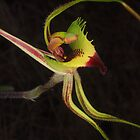 green spider orchid Caladenia falcata by peterbeaton