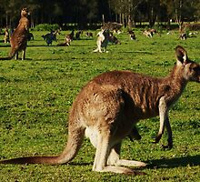morrisett kangaroos by jane walsh